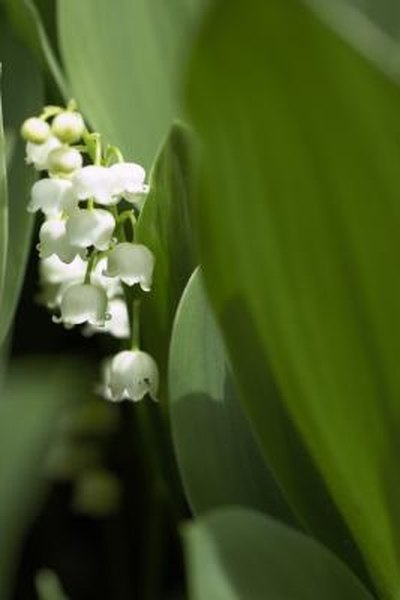 How to Plant Lily of the Valley in the Spring