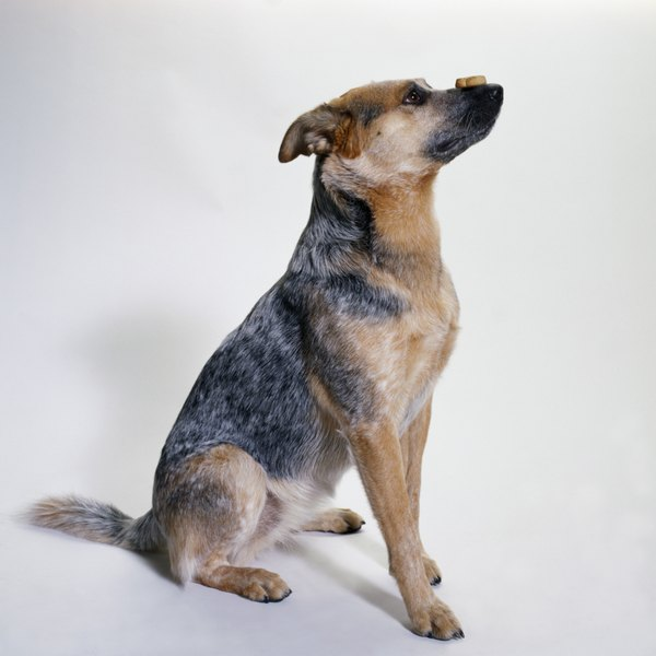 Australian cattle dogs have a unique blue or red mottled or speckled coat.