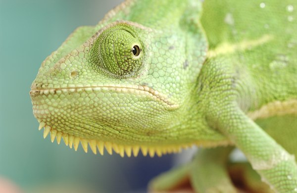 Chameleons use camoflage to hide from predators.