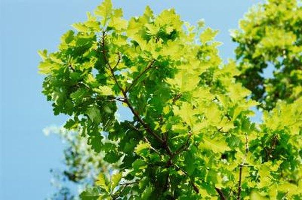 White Oak Tree Fungi | Home Guides | SF Gate