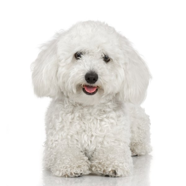 What Is The Difference Between A Toy Poodle Amp Bichon Dog