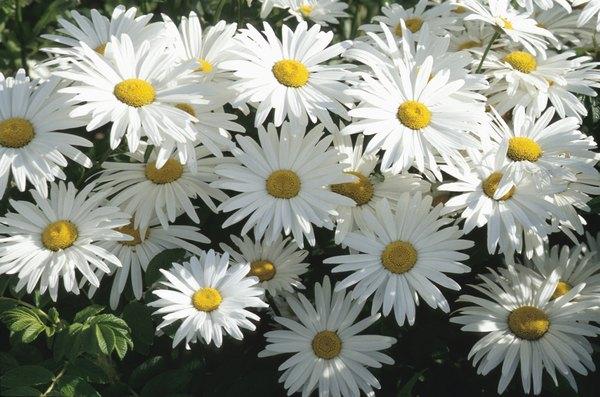 Flor de margaritas.