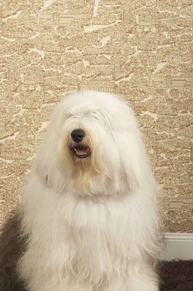 Bobtail is a nickname for the Old English sheepdog.