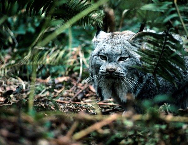 lynx hiding in the brush
