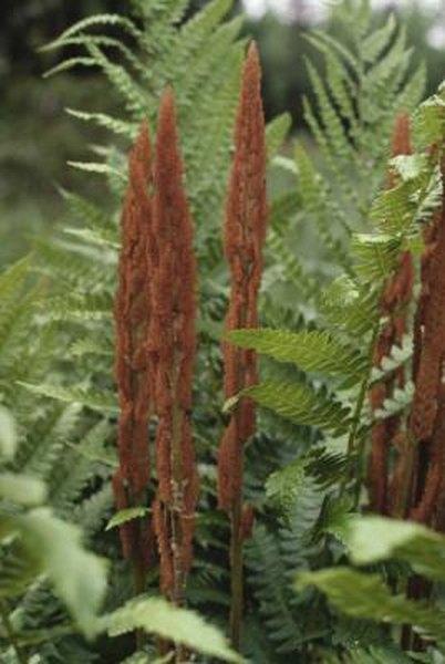 Companion Plants To Cinnamon Ferns Home Guides Sf Gate