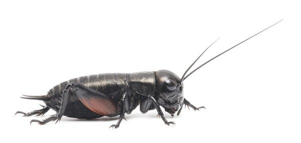 Crickets sometimes damage seedlings.