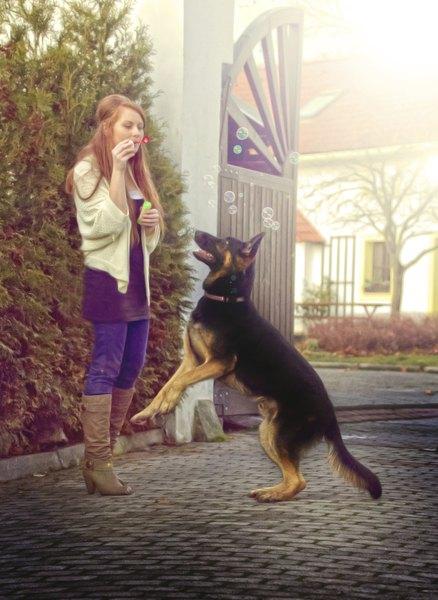 El pastor alemán puede ser tanto una mascota como un perro guardián.