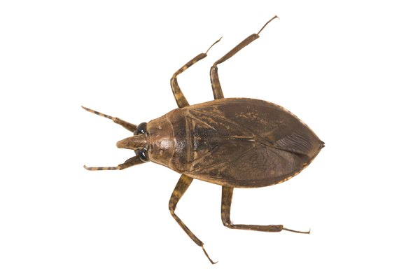 Giant water bugs lay eggs on floating plants.