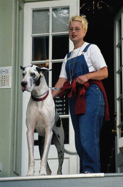 The harlequin pattern is exclusive to the Great Dane.