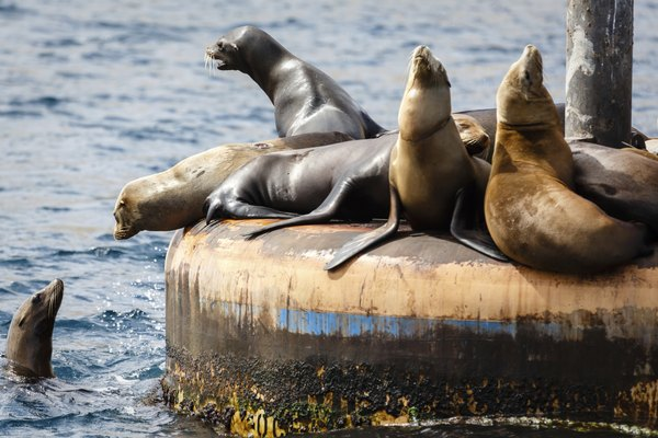 California sea lions off the coast