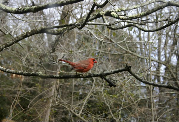 A male cardinal on a tree branch near the edge of the forest.