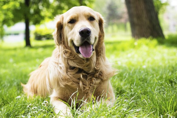 A retriever's devotion and playfulness make him a beloved family pet.