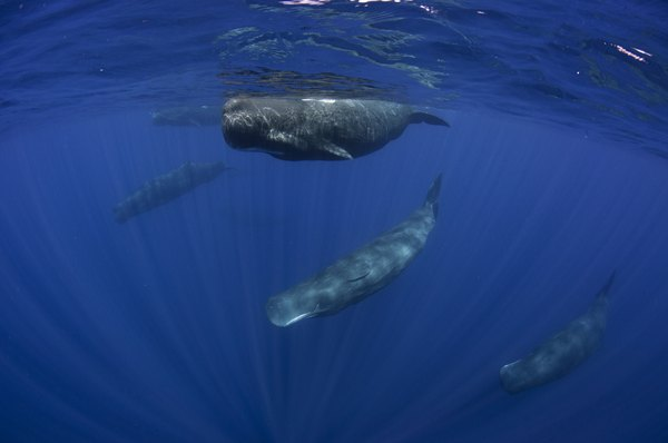 Pod of Sperm whales off the coast of Sri Lanka