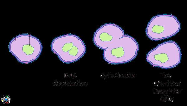 Binary Fission  Definition  U0026 Process