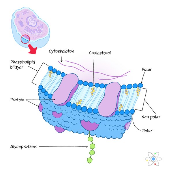 Plasma Membrane  Definition  Structure  U0026 Function  With Diagram