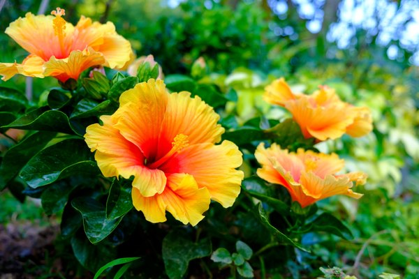 Care Maintenance Of Tropical Hibiscus Home Guides Sf Gate