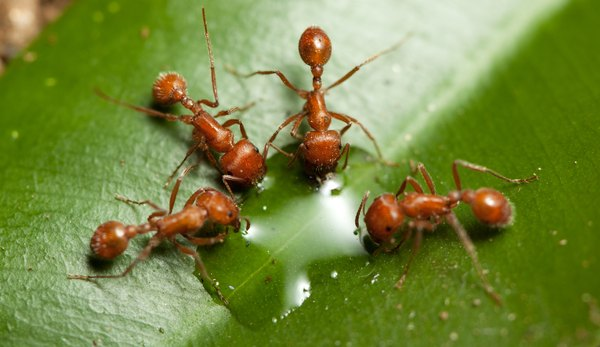The two petioles between the thorax and abdomen mark these ants as fire ants.