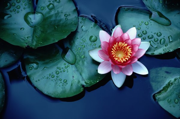 How To Grow A Lotus Plant Inside A Home Home Guides Sf Gate