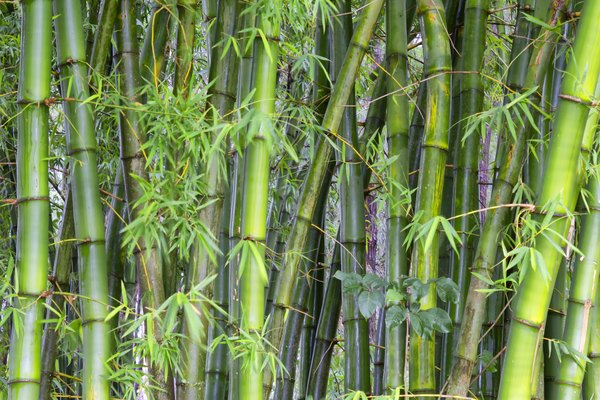 Can You Cut Lucky Bamboo Stalks Down to Size? | Home Guides
