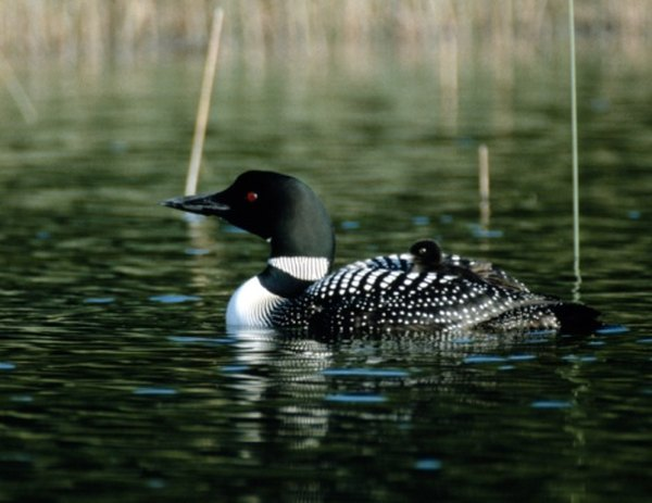 Loons are so common in Canada that the $1 coin, the