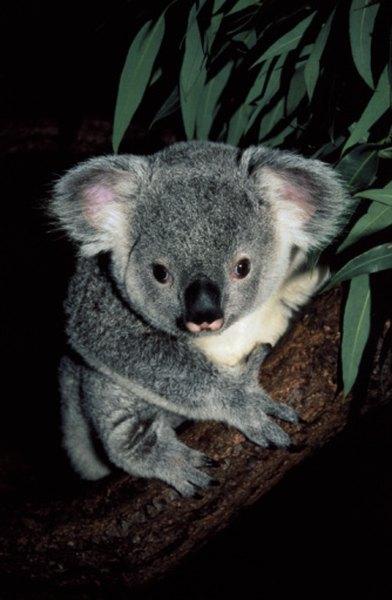Koalas can differentiate between the various types of eucalyptus trees through their sense of smell.