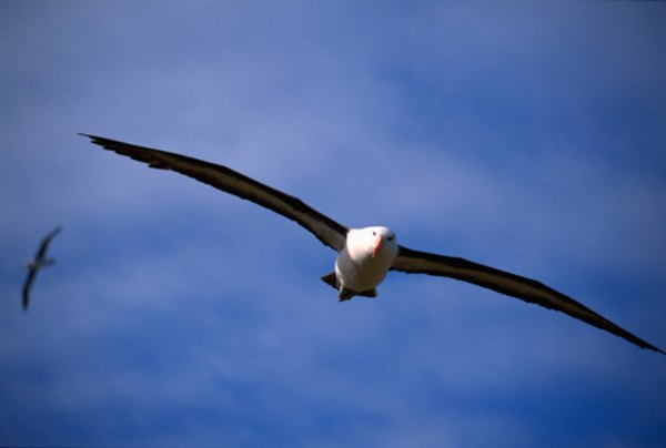 A 50-year-old albatross has flown at least 3.7 million miles.