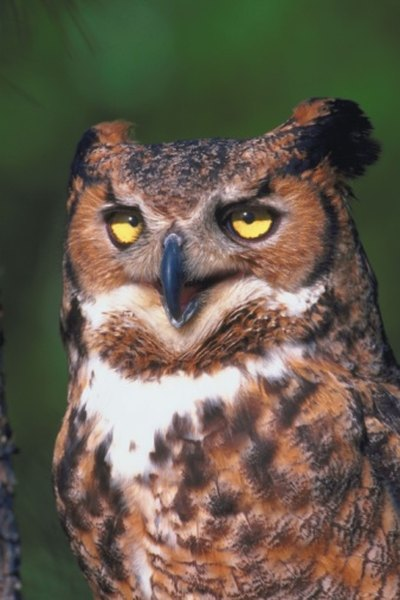 The  great horned owl is a formidable, powerful hunter.