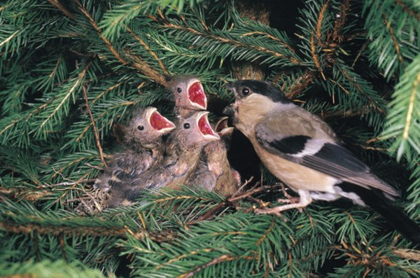 Finches are seed-eating songbirds, several of which eat pine cone seeds.