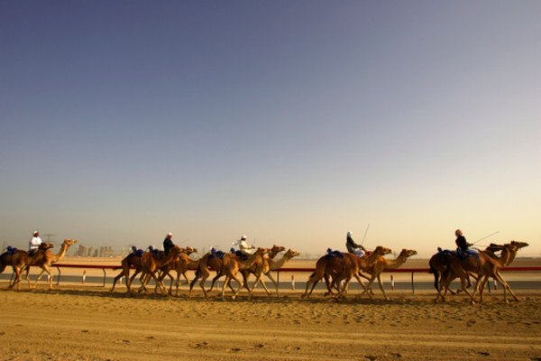 Nomads use camels in the Arabian Desert for transportation.