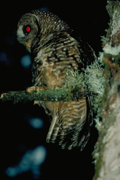 Owls are perhaps the most efficient nocturnal birds of prey.