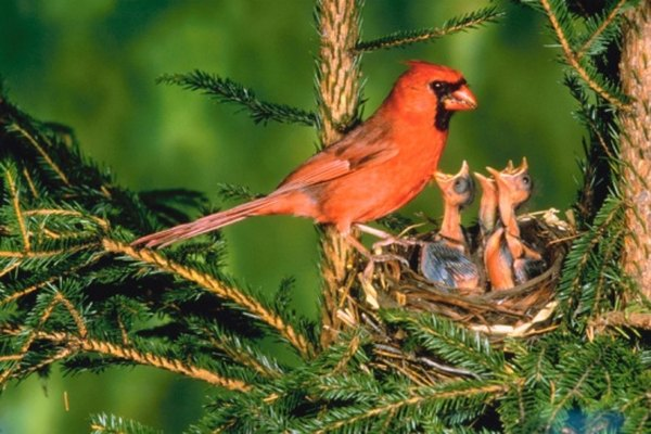 A male Northern Cardinal feeding its young