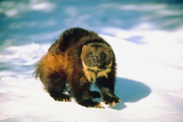 The wolverine will take prey much larger than itself.