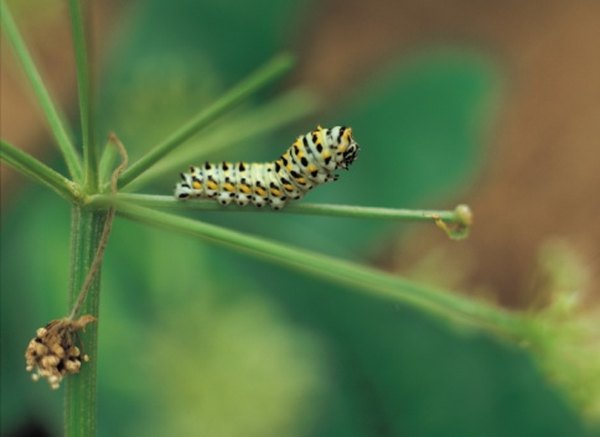 Caterpillars eat the leaves of plants and trees in their area.