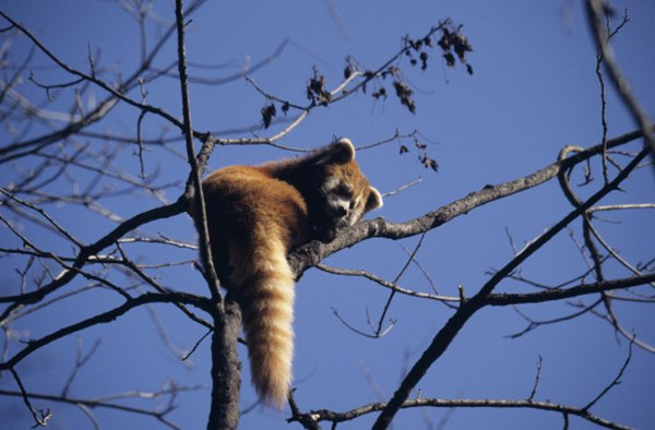Red pandas spend much of the day resting in trees.
