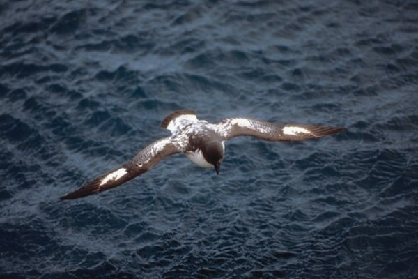 Petrels share coloring with penguins, but are also one of their natural predators.