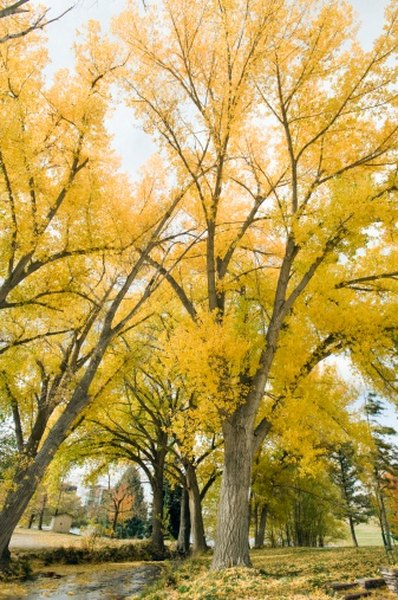 Autumn turns the tree leaves to gold.