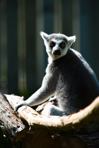 Lemurs enjoy life in the jungle canopy.