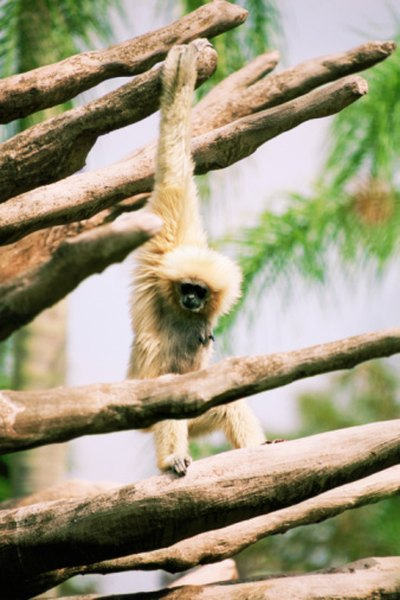 Gibbons have long arms and powerful shoulders for swinging.