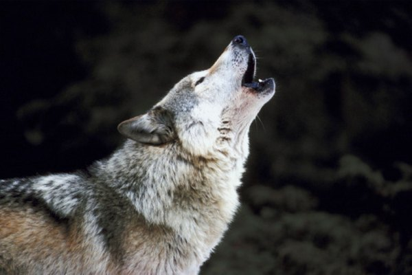 A wolf pack will often pick up the howls of a single member.