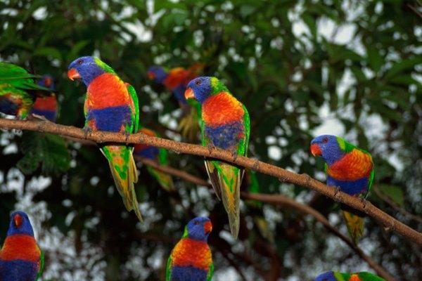 Rainbow lorikeets: Escaped nectar-feeding parrots may use hummingbird feeders.