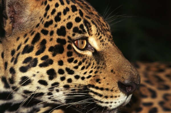 Jaguars are among the big cats that roam tropical forest terrain.