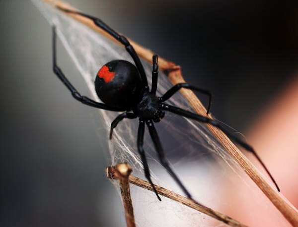 Black widows are black with red markings.