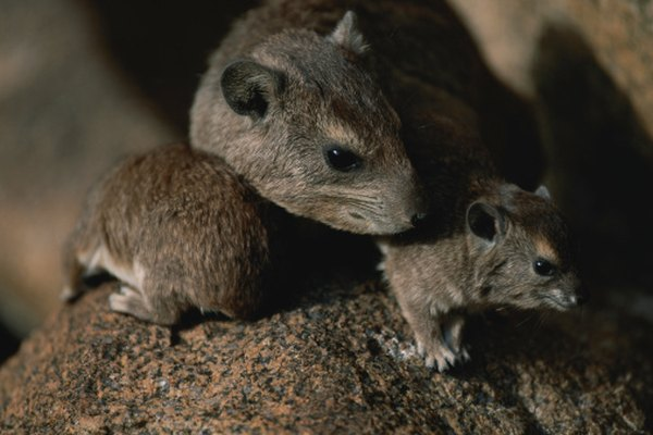 In the fragile Galapagos ecosystem, invasive rats' habit of eating iguanas threatens some species.