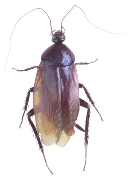 Cockroaches are nocturnal, limiting their activities to the darkness of nighttime.