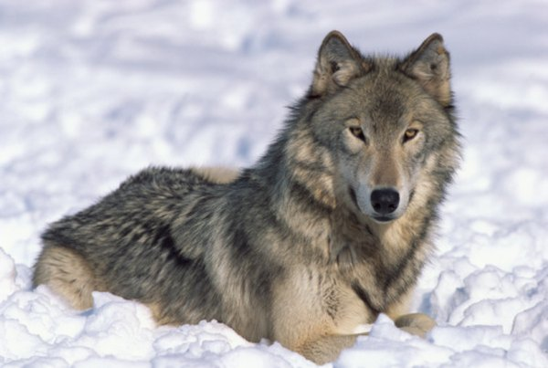 The habitat of the timber wolf includes arctic tundra, taiga, mountains and northern plains.