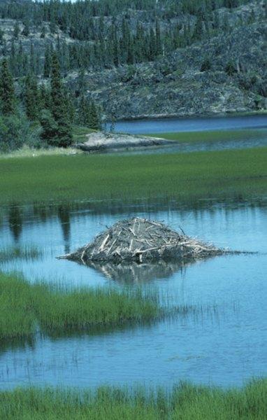 A free-standing beaver lodge is usually a highly secure refuge for the rodents.
