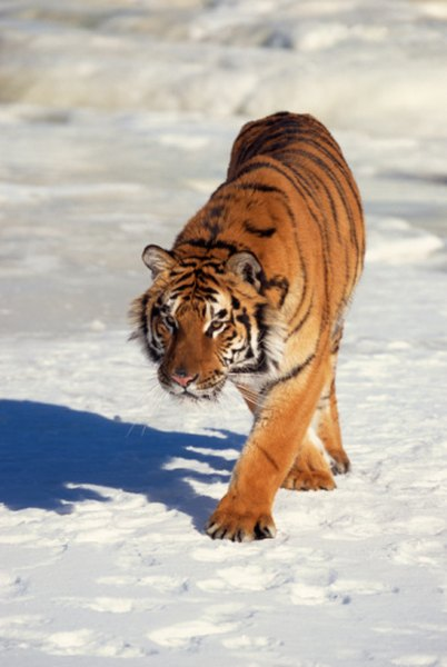 The Siberian tiger population, currently at around 500, dropped to as low as 40 in the 1930s.