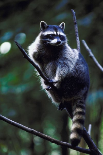 Raccoons have good night vision as well as climbing skills.