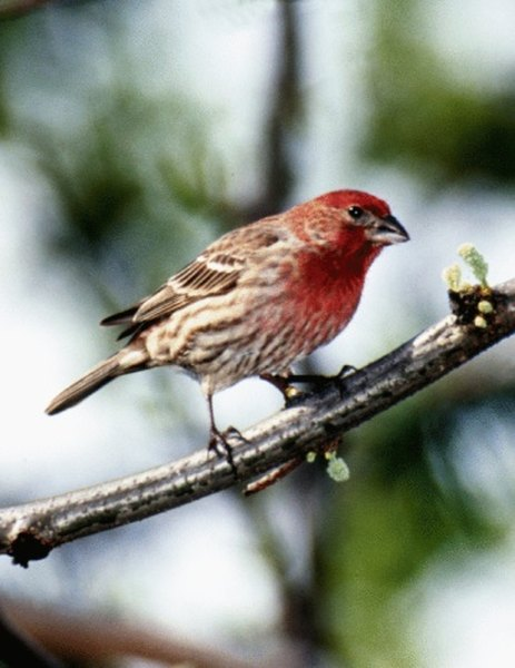 The house finch may visit hummingbird feeders.