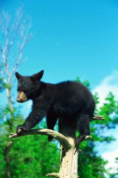 In addition to porcupines and bobcats, black bears live in coniferous forests.